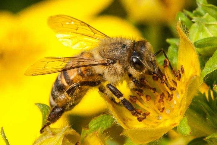 Za svou imunitu vděčí včelí larvy a mlaďušky královně. Ochranu jim dává do vínku prostřednictvím bílkoviny vitellogenin. Kredit: Christofer Bang