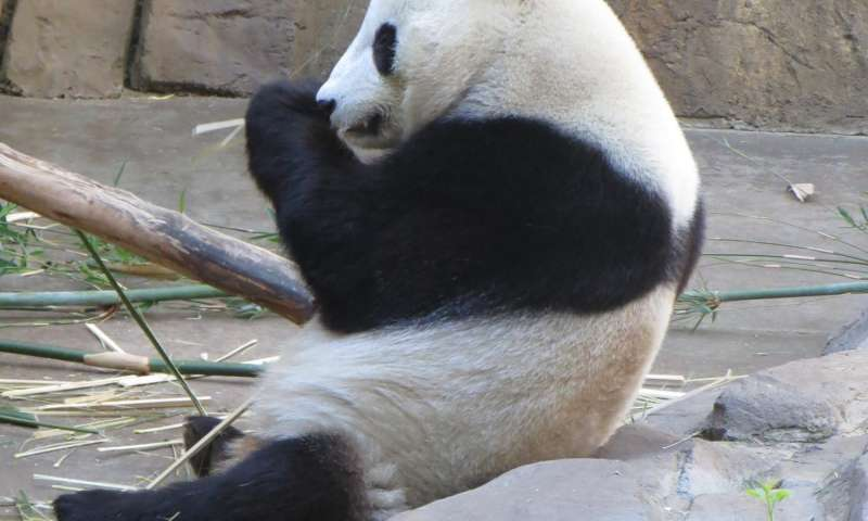 Pandy velké se také přesouvají na velké vzdálenosti a střídají stanoviště, od tropických lesů až po zasněžené hory.  (Kredit: Ted Stankowich/CSU Long Beach)