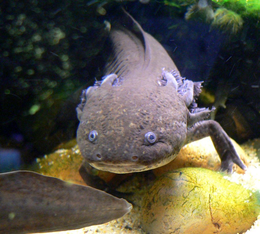 Axolotl mexický. Vidět ho jako dospělce, je vzácnost. Kredit: Stan Shebs, Wikipedia.