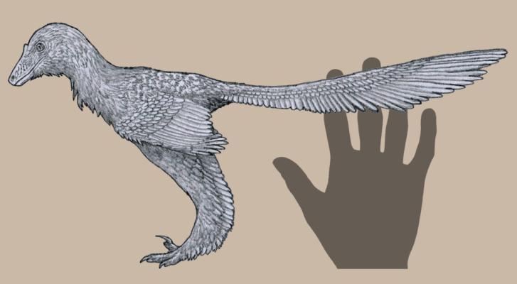 Rekonstrukce celkového vzezření, tvaru těla a struktury opeření u druhu Caihong juji. S délkou 40 centimetrů a hmotností necelého půl kilogramu patří tento anchiornitid k nejmenším známým neptačím teropodům. Kredit: Tomopteryx, Wikipedie (CC BY-SA 4.