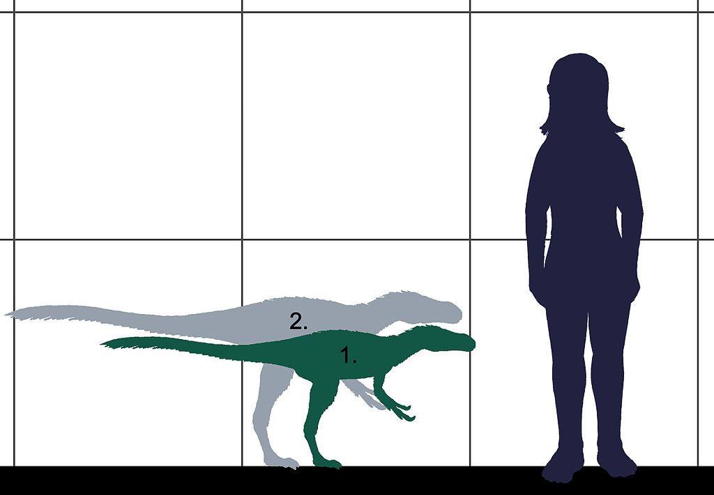 Velikostní srovnání dilonga a dospělého člověka. Číslem 1 je označen subadultní typový exemplář, číslem 2 pak předpokládaný dospělý a plně dorostlý jedinec. Kredit: Conty, Wikipedie (CC BY 3.0)