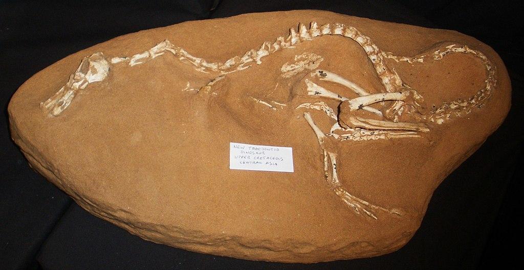 """Kostra dromeosaurida druhuHalszkaraptor escuilliei, podivného """"obojživelného"""" teropoda z pozdní křídy Mongolska. Spolu s rodyHulsanpesaMahakalaspadá do nově stanovené podčeledi Halszkaraptorinae.Kredit:Ghedoghedo, Wikipedie (CC BY-SA 3.0)"""