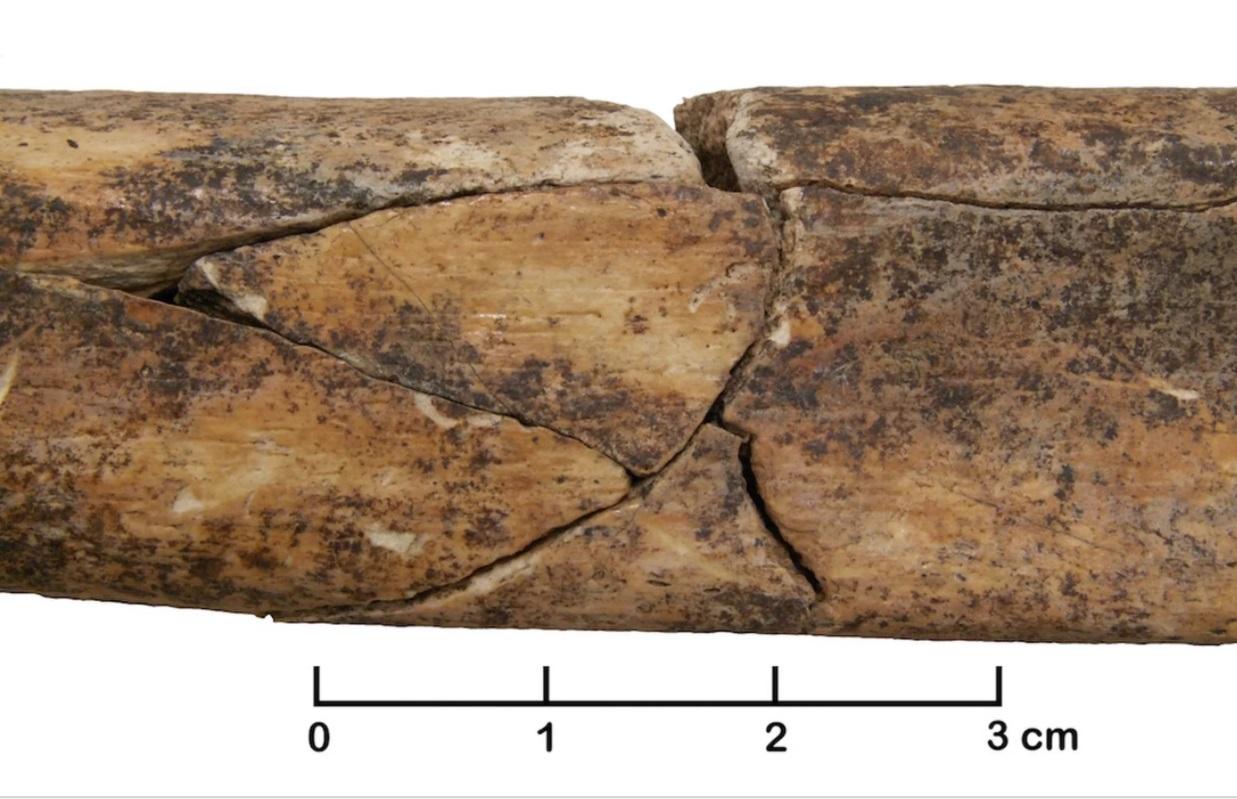 Zlomenina holenní kosti dospělého člověka. Nález z masového neolitického hrobu v Německu. Kredit: Christian Meyer http://www.pnas.org/content/112/36/11217
