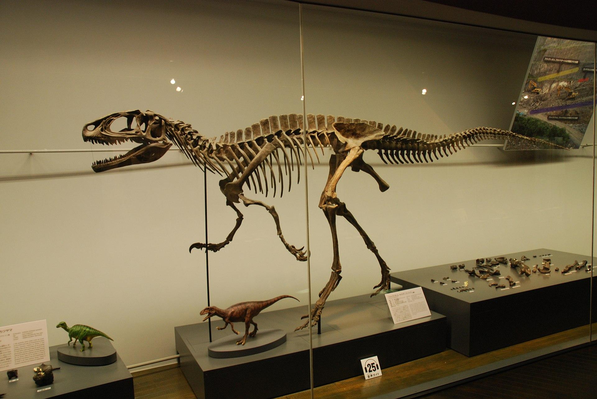 Rekonstrukce kostry typového exempláře japonského teropoda druhu Fukuiraptor kitadaniensis. Tento menší, asi 4 až 5 metrů dlouhý dravec náležel nejspíš do kladu Megaraptora a jeho blízkým příbuzným tak mohl být například australský rod Australovenato