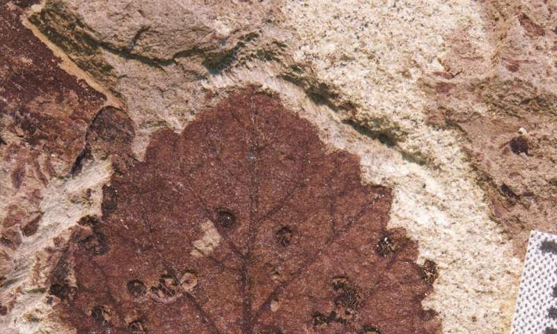 Chodbičky a hálky na listech rostlin svědčí o vysoké biodiverzitě některých skupin hmyzu. V tomto případě jde o fosilní otisk listu z období nejmladší křídy (patagonské souvrství Lefipán), asi před 67 až 66 miliony let. Po kata