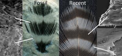 Jedna z prvních prací, která ukázala na barevnost pravěkého života se týkala proužkování fosilizovaného pera pravěkého ptáka (vlevo) a jeho porovnání s perem současného datla. Bílé čáry ukazují, jak konkrétní místo vypadá po zvětšení v elektronovém m