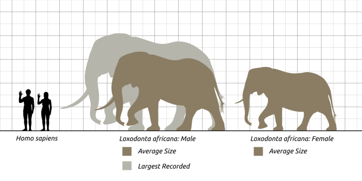 Porovnání velikosti dospělého člověka s velikostí průměrně velkého samce a samice slona afrického (hnědé siluety) a rekordně velkého jedince, zastřeleného roku 1974 v Angole (šedá silueta). Při výšce kolem 4 metrů a délce těla téměř 6 metrů vážil ten
