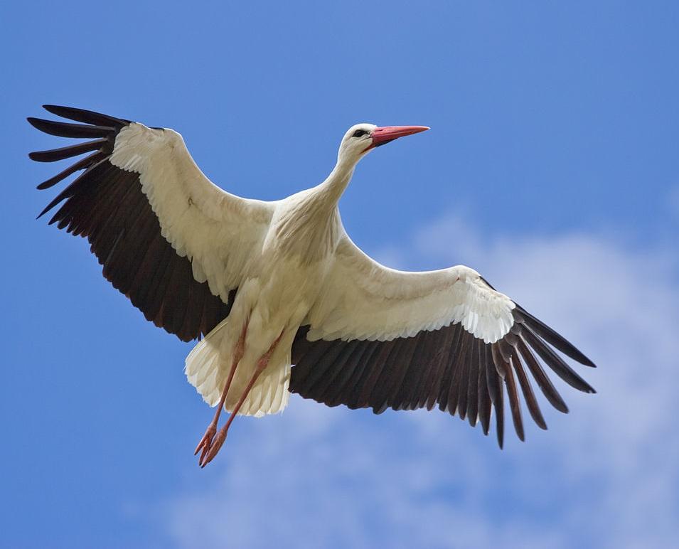 O tom, kolik čapích hnízd u nás je a která jsou obsazená již nyní, si uděláme jasnou představu zwebových stránek cap.birdlife.cz.  (Foto: Carlos Delgado)