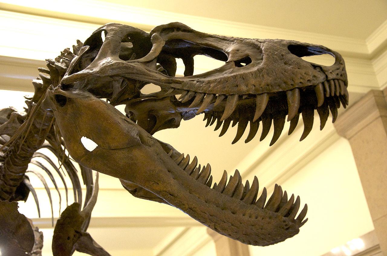 """Detailní fotografie lebky jedince """"Jane"""", juvenilního exempláře druhu Tyrannosaurus rex, který zahynul ve svých 11 letech. V tomto věku měřil na délku asi 6,5 metru a vážil téměř tunu. Podle některých paleontologů se mohlo jednat o samostatný rod a d"""