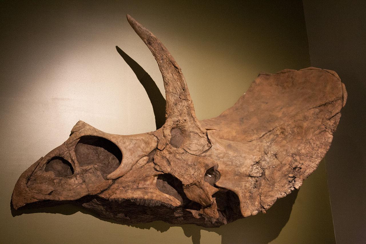 Část lebky eotriceratopse o velikosti malého automobilu. Tato tři metry dlouhá fosilie dokazuje, že také rohatí dinosauři překonávali hravě velikost dnešních slonů. Kredit: Roland Tanglao, Wikipedie