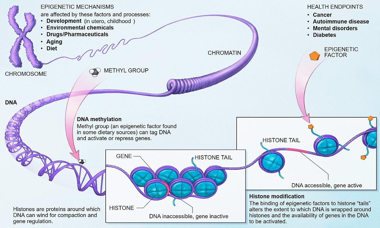 Epigenetické poznámky, které genům diktují jak mají být aktivní, jsou psané jazykem acetylace a metylace. Tužkou, která je psala, jsou naše zkušenosti a úlohu papíru převzaly proteiny o nichž jsme si dlouho mysleli, že zastávají jen funkci jakéhosi l