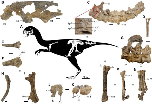 Kosterní diagram a dochované fosilní části kostry letos popsaného oviraptoridního teropoda druhu Gobiraptor minutus. Tento malý opeřený oviraptorosaur žil v období pozdní křídy (asi před 70 miliony let) na území dnešního Mongolska. Patří k záplavě no