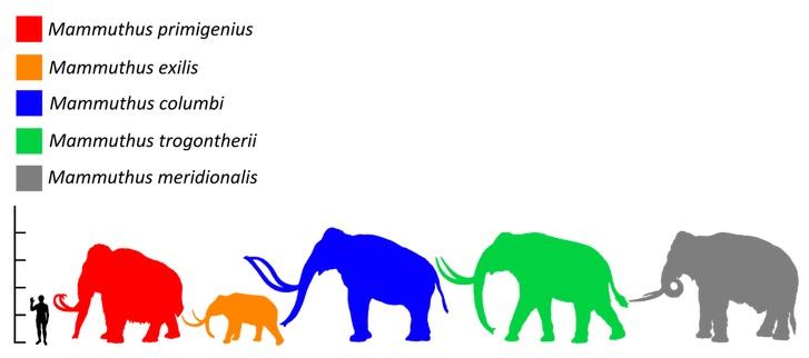 Mamut srstnatý (červená silueta) byl v rozporu s obecným názorem relativně malým druhem mamuta a chobotnatce obecně. Dospělí samci pravděpodobně nebyli větší než samci dnešních slonů afrických. Největší exempláře snad mohly dorůstat do hmotnosti 8000