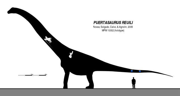 Rekonstrukce přibližného tvaru těla a velikosti puertasaura, vytvořená na základě velmi skromných fosilních pozůstatků. I ty nejkonzervativnější odhady délky tohoto sauropoda se pohybují blízko hodnotě 30 metrů a je prakticky jisté, že vážil přinejme