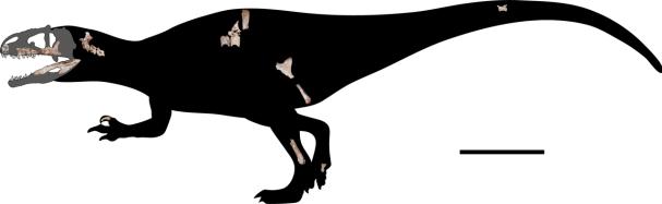 Skeletární diagram nového karcharodontosaurida druhu Siamraptor suwati – znázorněny jsou dochované fosilní části skeletu. I na základě takto nepočetných fragmentů bylo možné stanovit, že se jedná o nový rod a druh karcharodontosauridního teropoda. Př