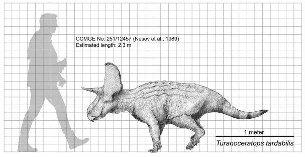 Porovnání velikosti turanoceratopse a dospělého člověka. Při délce kolem 2 metrů a hmotnosti necelých 200 kilogramů patřil tento zástupce rohatých dinosaurů mezi poměrně malé druhy. Je možné, že se stával častou kořistí tyranosauroida druhu Timurleng
