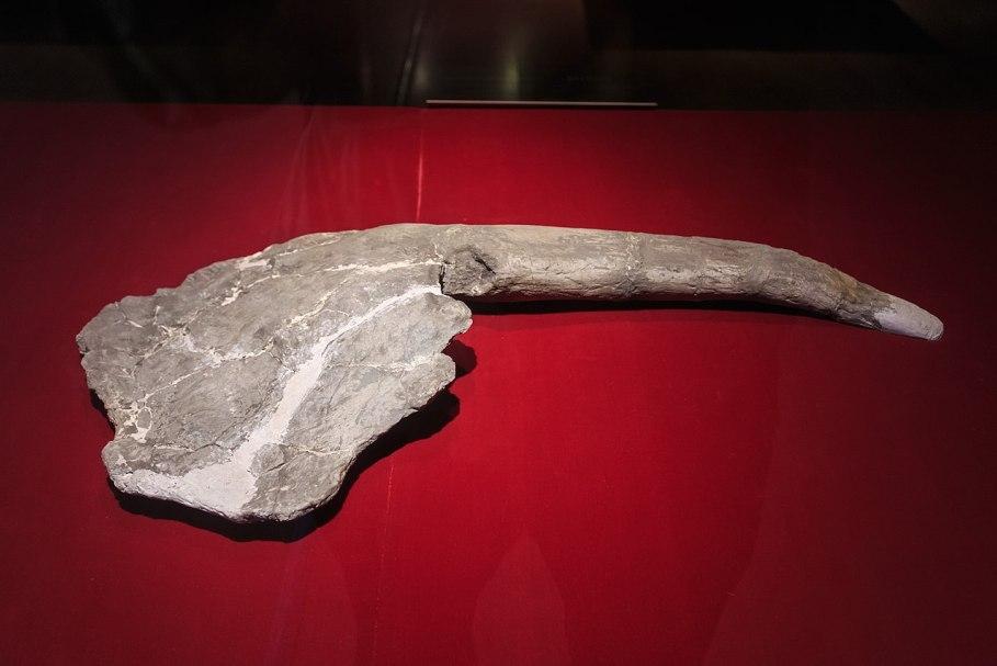 Exponát v podobě nejnápadnějšího anatomického znaku gigantspinosaura, kterému vděčí i za své rodové jméno. Jeho přesná funkce není známá, pravděpodobně však šlo o prvek pasivní obrany a snad i o prostředek vnitrodruhové signalizace nebo prostě jen pr
