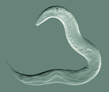 Seznamte se: Caenorhabditis elegans, nástroj molekulární a vývojové biologie. (Kredit: Bob Goldstein, UNC Chapel Hill)