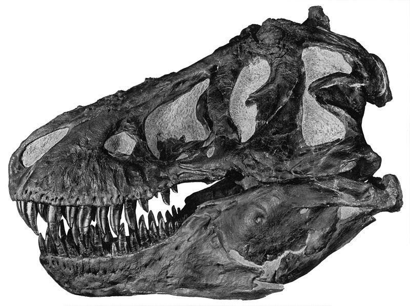 Lebka druhého v pořadí objeveného tyranosaura, jde o exemplář s označením AMNH 5027. Tento tyranosaurus byl objeven Barnumem Brownem ve východní Montaně roku 1908. Autor snímku: A. E. Anderson, převzato z Wikipedie