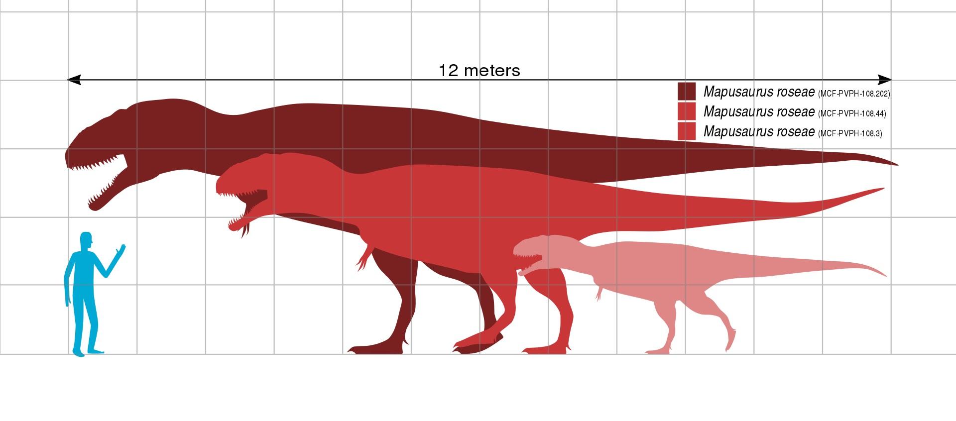 Mapusauři patřili k tzv. megateropodům, tedy obřím zástupcům skupiny Theropoda, kteří dosahovali délky nad 12 metrů a hmotnosti v řádu tun. Největší jedinci se velikostí blížili dalšímu obřímu karcharodontosauridovi z Argentiny, druhu Giganotosaurus