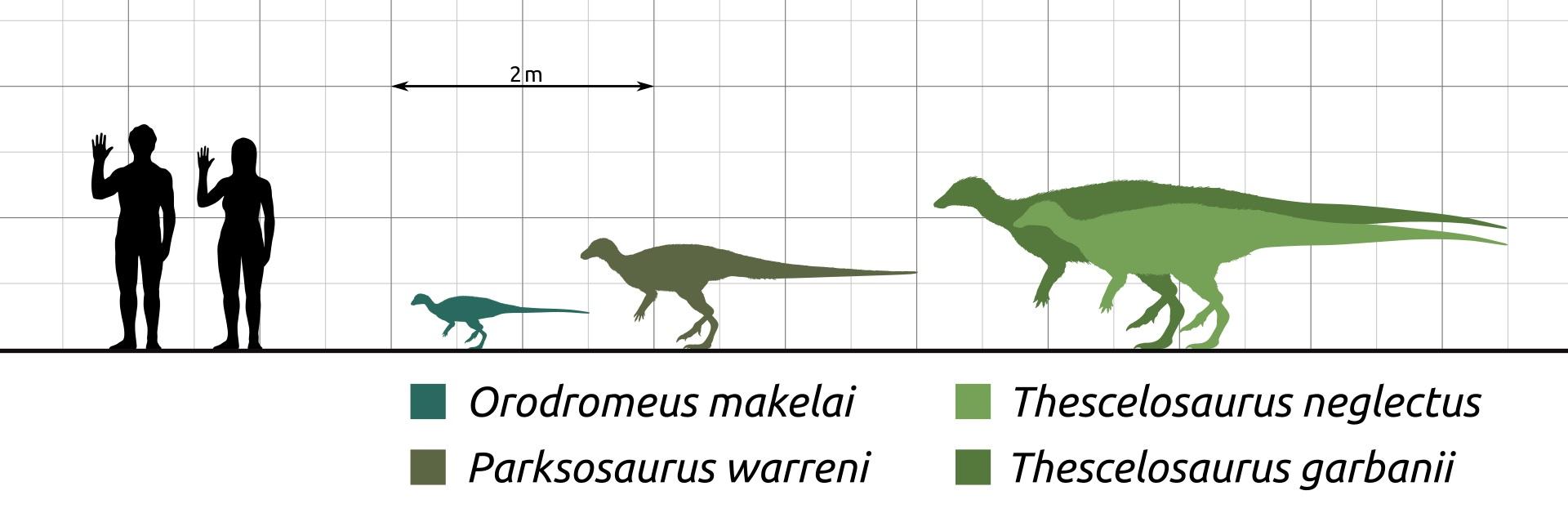 Thescelosaurusbyl podstatně větší a robustnější ornitopod než jeho příbuznýOrodromeus, o kterém víme takřka s jistotou, že vyhrabával podzemní nory. Dokázal to samé také o 30 milionů let mladší dinosaurus, žijící až na samotném rozhraní křídy a pal