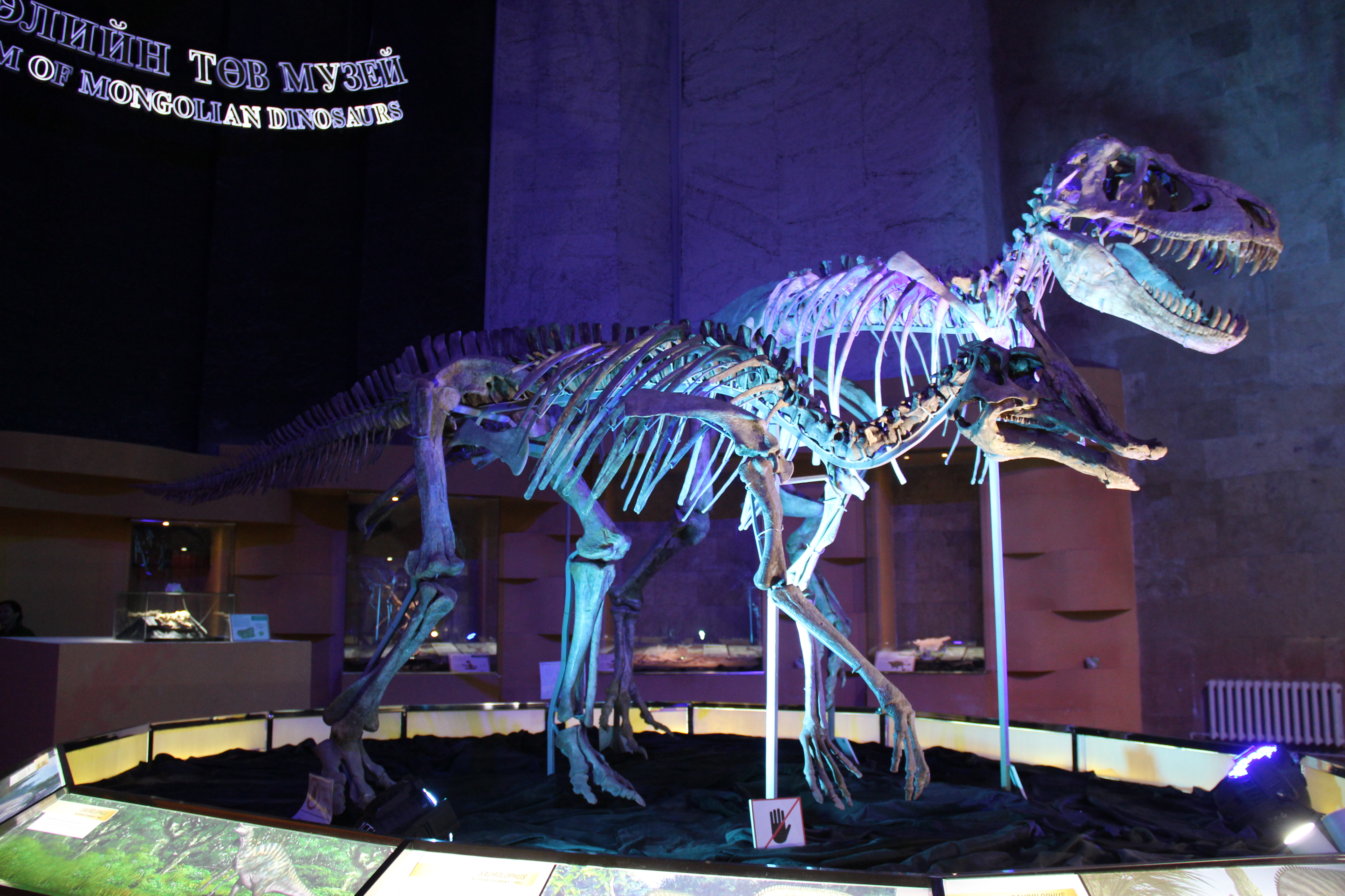 Rekonstruované kostry pozdně křídových mongolských dinosaurů druhu Tarbosaurus bataar a Saurolophus angustirostris. Tyto fosilie byly nejdříve nelegálně dovezeny do Spojených států amerických, později však byly repatriovány a vráceny Mongolsku. Dnes