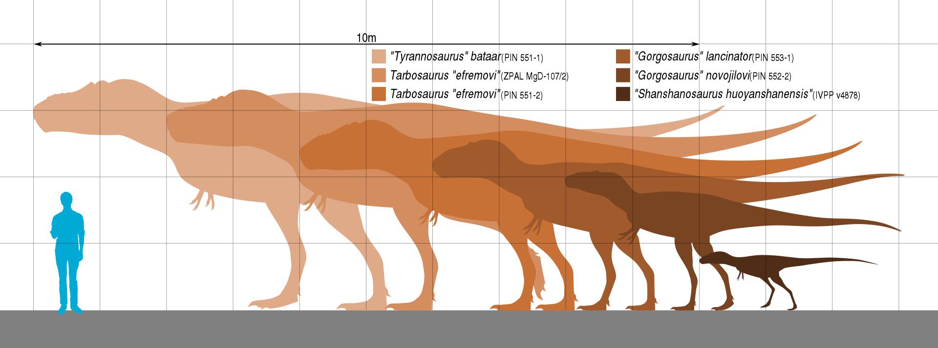 Velikostní porovnání dospělého člověka a jedinců druhu Tarbosaurus bataar v různých ontogenetických stadiích. Nejmenší známé exempláře dosahují délky kolem dvou metrů a hmotnosti několika desítek kilogramů, plně dospělí jedinci mohli být dlouzí až 12