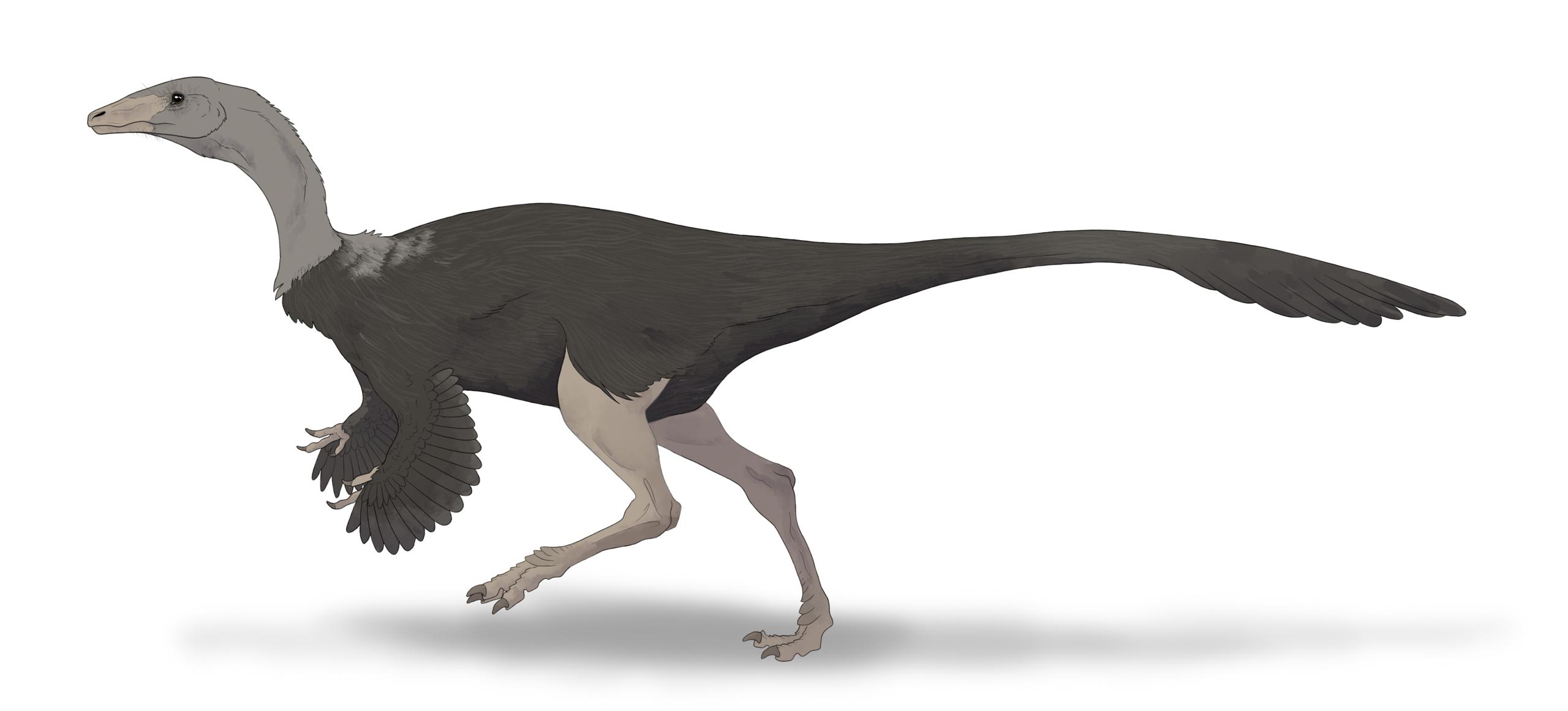 Tzv. pštrosí dinosauři, neboli ornitomimidi, byli gracilní a štíhle stavění teropodi, kteří evidentně dokázali velmi rychle běhat. Jak rychle konkrétně běželi a jak dlouho svoji maximální rychlost udrželi, to však zůstává otázkou i ve 21. století. Na