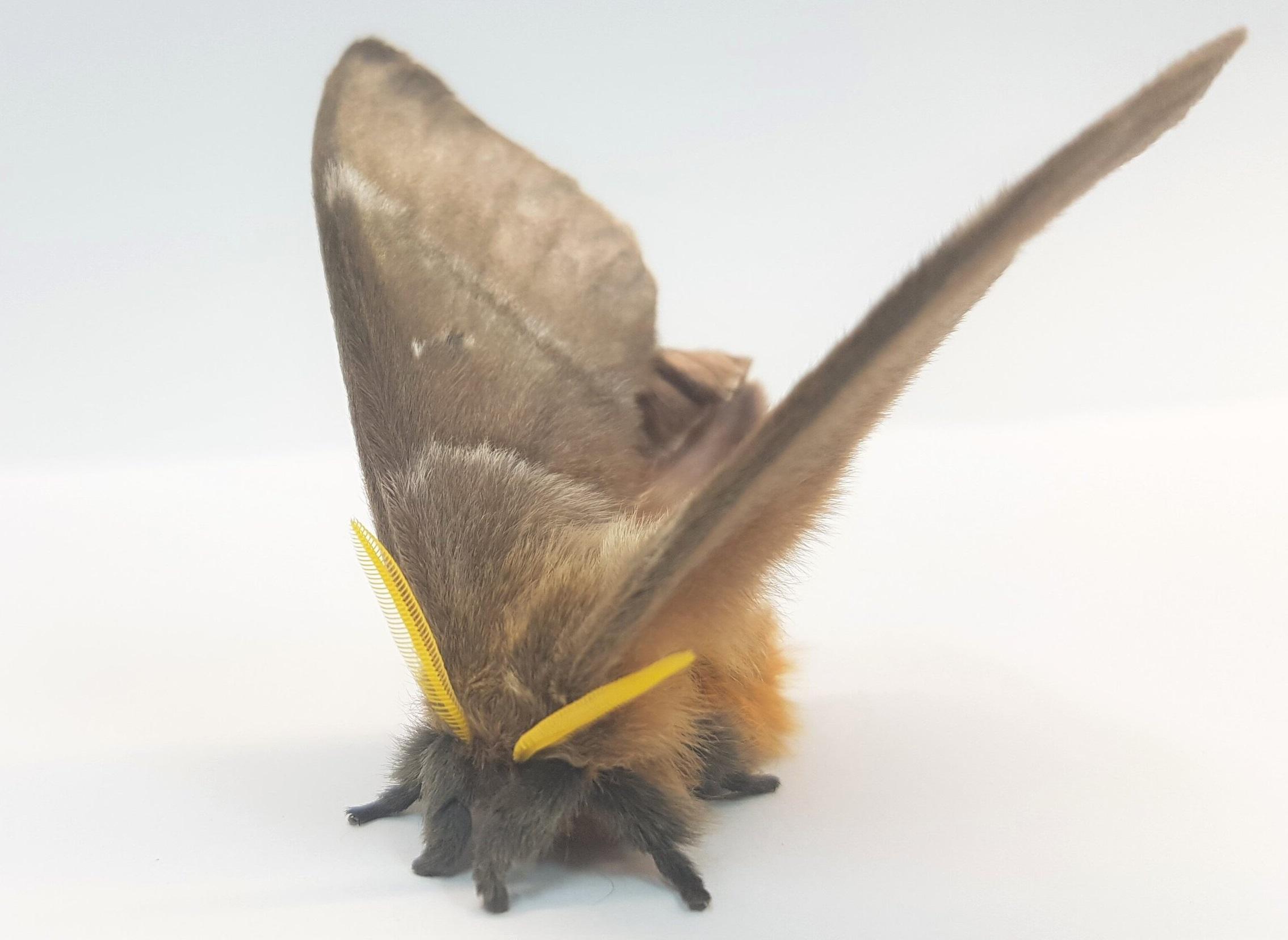 Zvláště huňatý druh můry (Periphoba arcaei) s protáhlými šupinami do podoby tenoučkých vláken plnících funkci akustické kamufláže.Kredit: Thomas R. Neil.