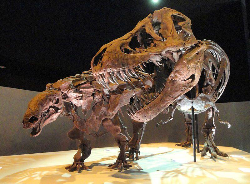 """Denversaurus byl součástí tzv. lancijské fauny, představující poslední populace neptačích dinosaurů na úplném konci křídového období v Laramidii. Zde v expozici muzea v Dallasu, spolu s exemplářem druhu T. rex, známém jako """"Wyrex"""" (zajímavého tím, že"""