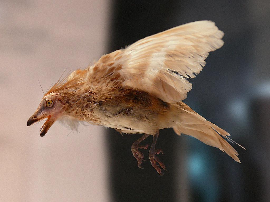 Model praptáka druhu Iberomesornis romerali z kladu Enantiornithes. Tito dávní ozubení opeřenci představují teropody, jimž se stalo vymírání K-Pg rovněž zcela osudným (snad až na vzácné výjimky). Na rozdíl od archaických forem mod