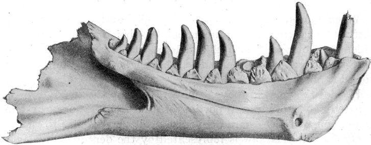 Obří kosti spodní čelisti tyranosaura, objevené v roce 1900 na území Wyomingu (souvrství Lance), byly spolu s dalším odkrytým materiálem o pět let později popsány pod dnes již neplatným jménem Dynamosaurus imperiosus. Kredit: Wikipedie (volné dílo).