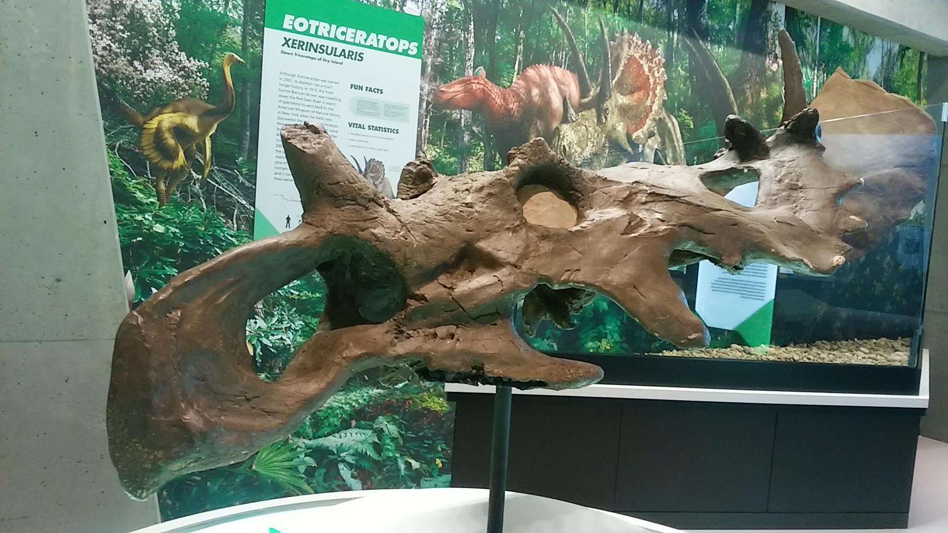 Odlitek dochované části lebky ceratopsida druhu Coronosaurus brinkmani. Tento rohatý dinosaurus obýval oblasti dnešní kanadské Alberty v období pozdní křídy, asi před 77 miliony let. Při délce do 6 metrů a hmotnosti kolem 2 tun představoval středně v