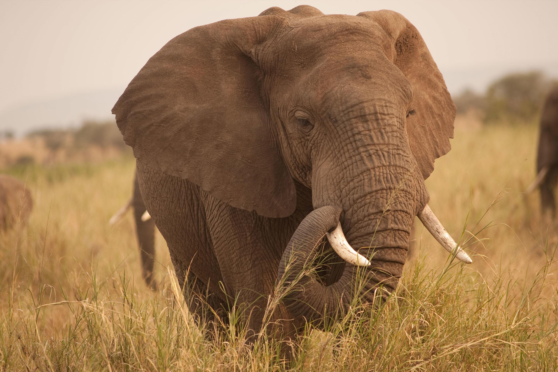 Sloni se musejí chránit před nádorovými buňkami. Kredit: C. E. Timothy Paine / Flickr.
