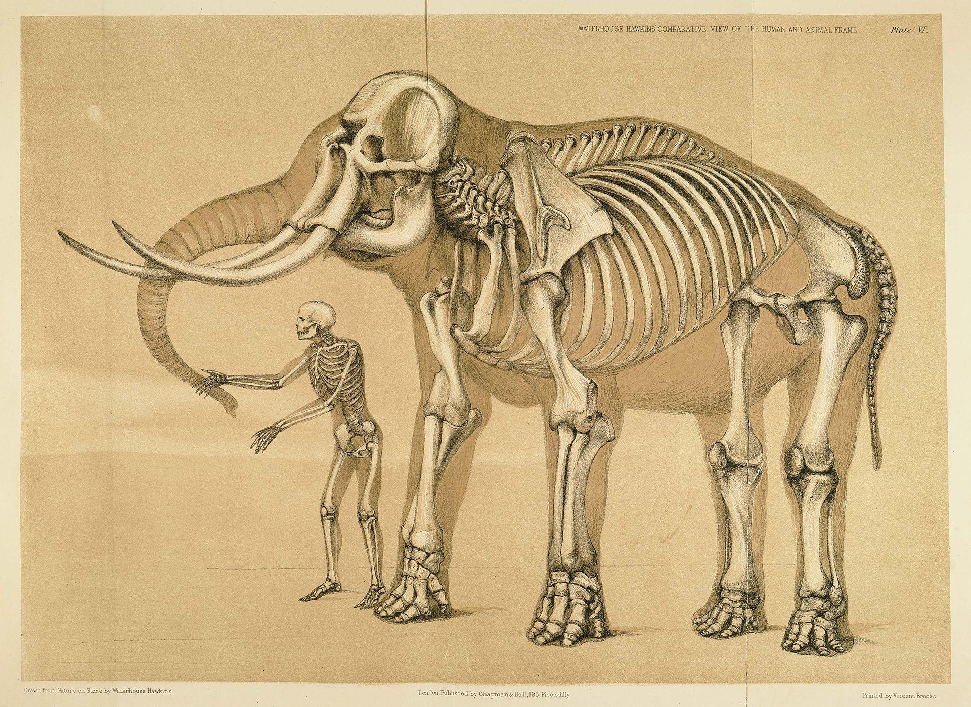 Porovnání kostry člověka a slona afrického, největšího suchozemského tvora současnosti. Přímá pozorování potvrdila, že tito obří chobotnatci dokážou vyvinout rychlost až přes 25 km/h. To přibližně odpovídá maximální rychlosti běhu netrénovaného, prům