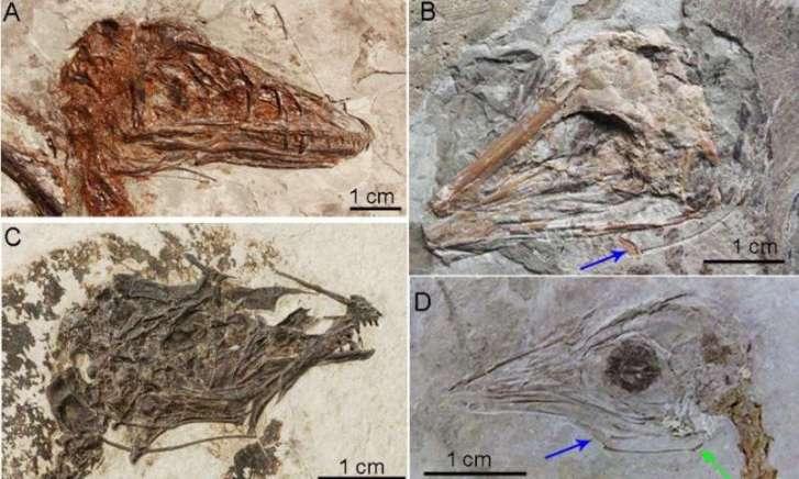 Výzkum jazylkového aparátu u skvěle zachovaných fosilií druhohorních praptáků a teropodních dinosaurů z Číny prokázal, že prakticky všichni teropodní dinosauři měli jazyk nejspíš pevně fixovaný ke spodnímu patru. To přitom platilo i pro velké a vývoj