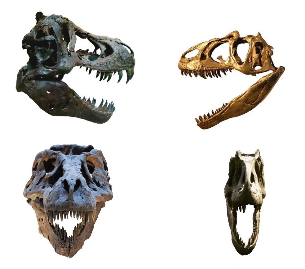 Srovnání stavby lebky a čelistního aparátu tyranosauridů (T. rex; vlevo) a alosauroidů (A. fragilis; vpravo) dokládá, jak výrazný je trend k mohutnění těchto partií právě u pozdně křídových tyranosauridů. U druhu Tyrannosaurus rex pak dosáhl tento tr