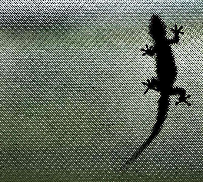 Gekon na skle dokazuje pĹŻsobenĂ van der WaalsovĂ˝ch sil. Kredit: Steve Evans, Wikimedia Commons.