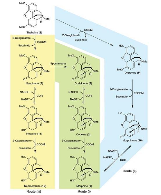 Modifikované kvasinky zvládají produkovat řadu opioidů. Kredit: NPG