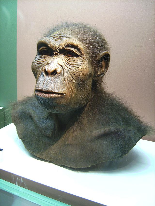 Homo habilis (Westfälisches Museum für Archäologie, Herne. CC BY-SA 3.0 Wikimedia Commons)