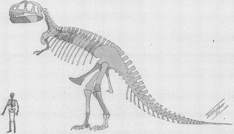 """Nejstarší rekonstrukce kostry druhu Tyrannosaurus rex. Není divu, že dobový tisk se na počátku 20. století předháněl v superlativech na adresu tohoto """"krále pravěkých zabijáků."""" Autor: William D. Matthew, převzato z Wikipedie"""