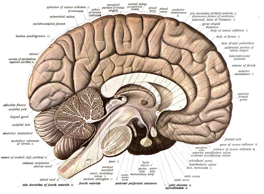 Ĺ?ez lidskĂ˝m mozkem: *corpus callosum *je svÄ›tlĂ˝ oblouk spojujĂcĂ hemisfĂ©ry koncovĂ©ho mozku. SvÄ›tlejší barva je dána velkĂ˝m obsahem bĂlĂ© mozkovĂ© hmoty - tedy axonĹŻ obalenĂ˝ch myelinovĂ˝mi pochvami.