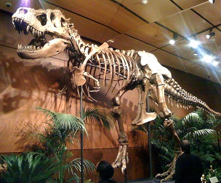 """Exemplář tyranosaura """"Samson"""" byl objeven v Jižní Dakotě roku 1981. Některé parametry jeho kostry nasvědčují možnosti, že šlo o jiný druh rodu Tyrannosaurus, než zatím jediný známý druh T. rex. Většinový názor se ale přiklání k možnosti, že jde o tva"""