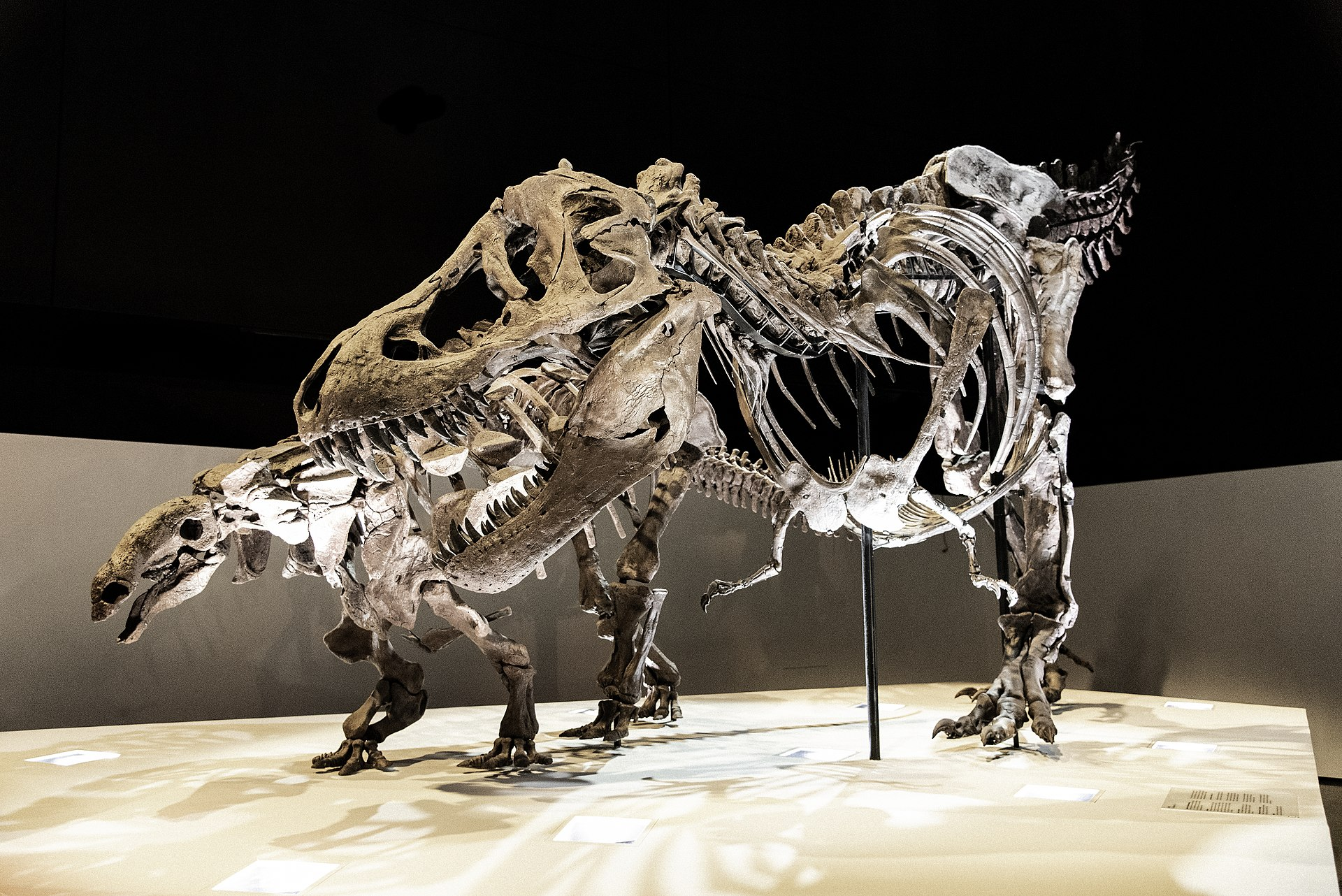 Tyrannosaurus rex byl několikatunovým dravým obrem, schopným uchvátit kořist o velikosti dnešního slona. Podle posledních zjištění nebyl extrémně rychlým běžcem, dokázal ale efektivně a relativně rychle kráčet na dlouhé vzdálenosti. Zde v expozici Ho