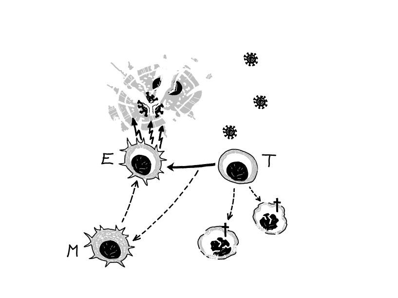 Lymfocyty T  reagují na epitopy patogenu, jsou znich vybírány klony dobře reagující proti nim a  jsou znich porodukovány efektorové buňky (E), které ničí buňky napadené virem. Nevhodné klony jsou eliminovány (+).   Část  vyškolených lymfocytů se uk