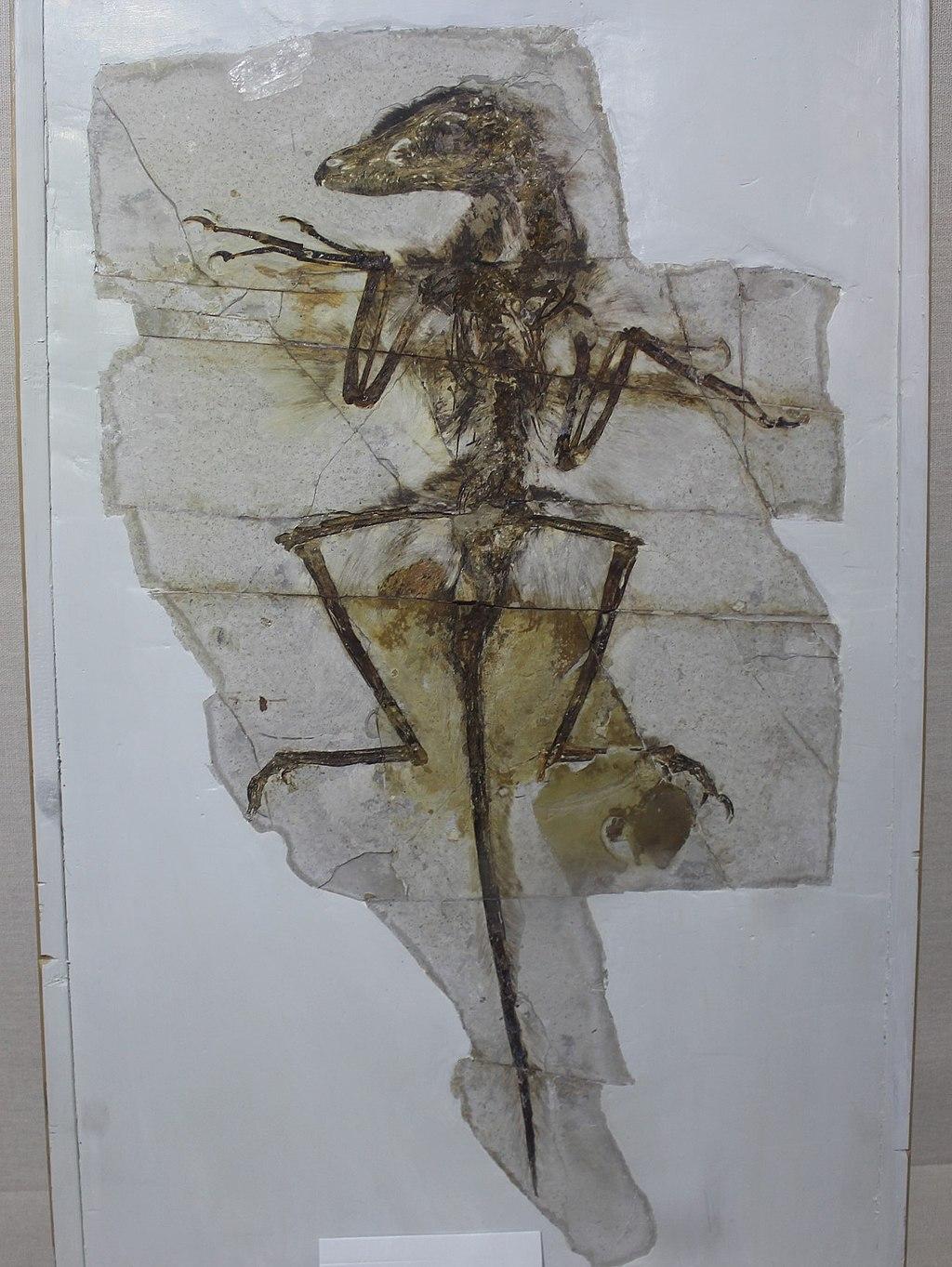 """""""Dave"""" (NGMC 91) z Geologického muzea v Číně, nádherně dochovaná fosilie malého dromeosauridního teropoda druhu Sinornithosaurus milenii. Někteří paleontologové se dříve domnívali, že tento opeřený dravec mohl být vybaven jedovými žlázami a svoji koř"""