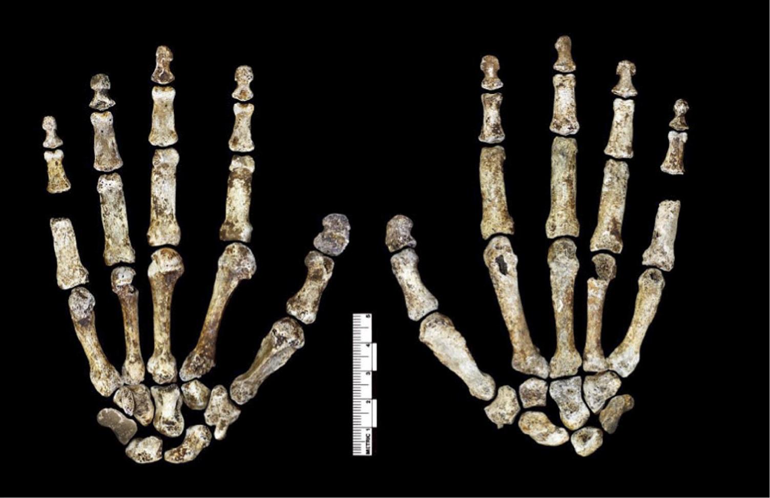 Nález zachovalé kostry ruky Homo naledi (podle Berger et al., DOI: 10.7554/eLife.09560.008)