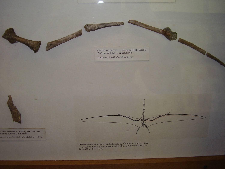 Snímek restaurované části křídla kretornise v dřívější expozici Národního muzea (prosinec 2007). Tento taxon byl formálně popsán profesorem Antonínem Fričem přesně před 140 lety, tedy v roce 1881. Vlastní snímek autora (nahrán na Wikipedii; CC BY-SA