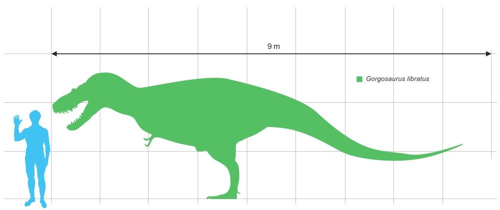 Porovnání velikosti dospělého jedince gorgosaura a dospělého člověka (výška 6 stop, tedy 183 cm). Největší jedinci zmíněného tyranosaurida mohli být pravděpodobně ještě o trochu větší, snad přes 10 metrů dlouzí. Kredit: Dinoguy2, Wikipedie (CC BY-SA