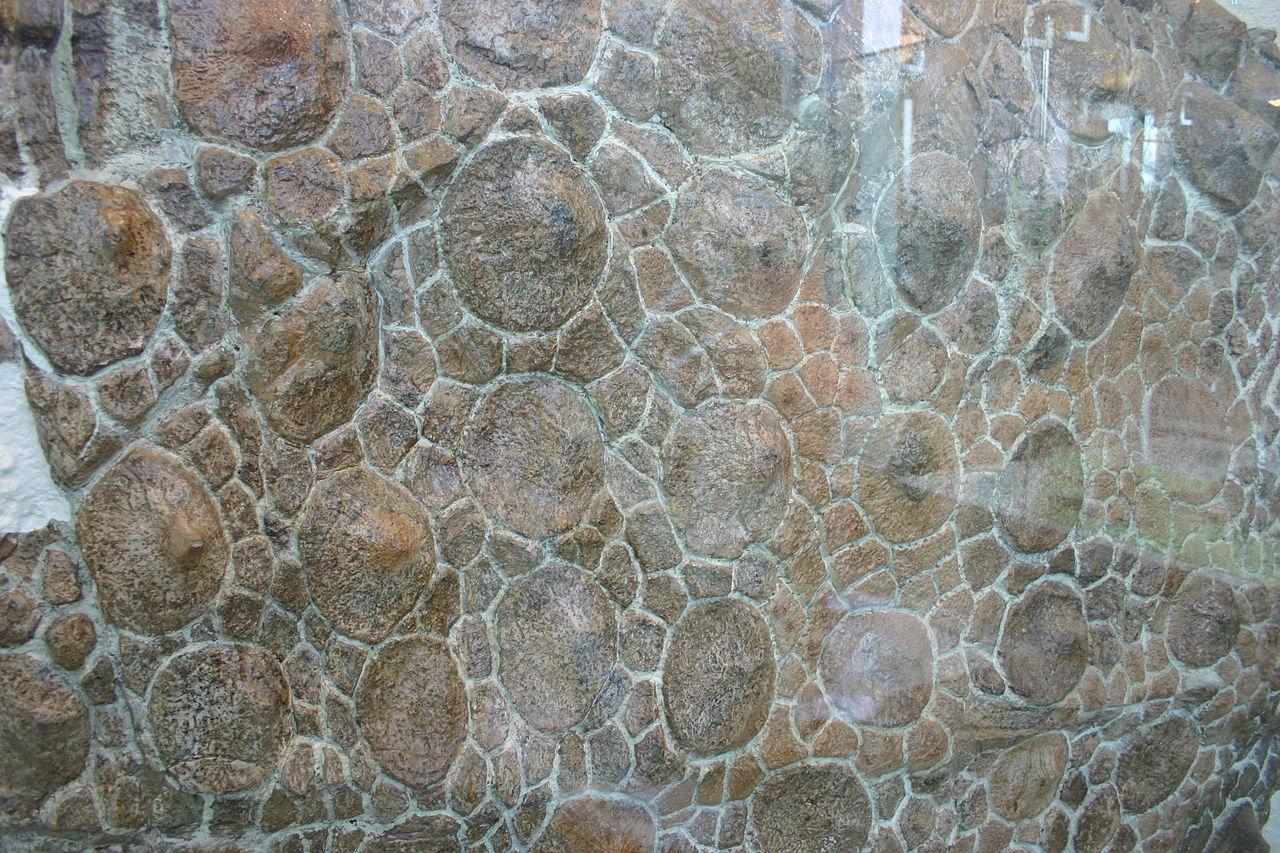 Část zkamenělého hřbetního pancíře obrněného ankylosaura druhu Sauropelta edwardsorum. Velké osteodermy údajně sloužily indiánům jako malé plotny na pražení šišek. Kredit: Ryan Somma, Wikipedie